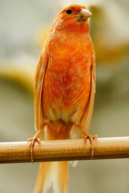 Le canari est un oiseau granivore. © Luisus Rasilvi, Flickr, cc by nc sa 2.0