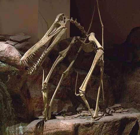 Squelette d'un Ptérosaure au North American Museum of Ancien Life. Crédit Zachary Tirrell