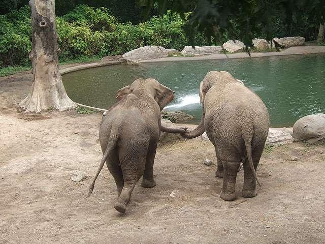 Même en captivité, comme ici au zoo du Bronx, ces éléphants d'Asie entretiennent entre eux des rapports sociaux complexes. © Salvo Candela, Flickr, CC by-nc-sa 2.0