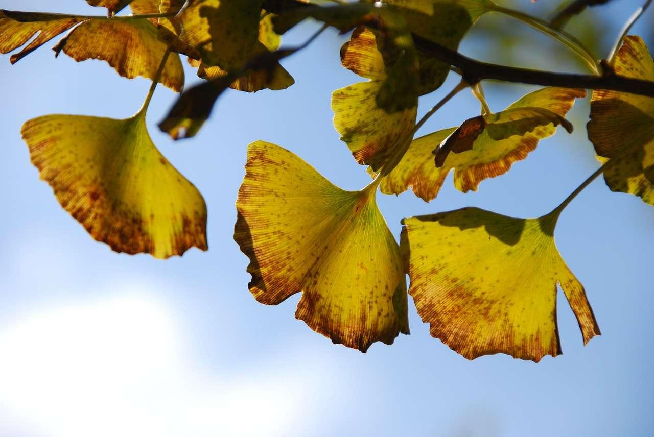 Les feuilles du Ginkgo biloba, dernier et seul représentant des ginkgophytes, se reconnaissent bien à leur forme caractéristique. © Miklabo, pixabay.com, DP