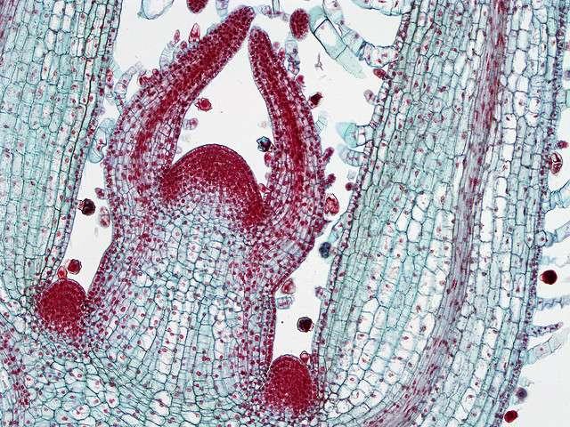 Coloration d'une coupe de bourgeon terminal. Le cambium est visible au centre de la feuille en coupe à droite : c'est la zone plus colorée avec les cellules plus fines. © BlueRidgeKitties CC by-nc-sa 2.0