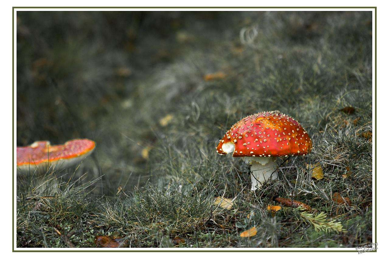 L'amanite tue-mouches (Amanita muscaria) est un champignon basidiomycète. Il est toxique et psychotrope. © bzhmatth, Flickr, cc by nc sa 2.0