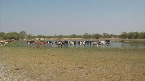Le nord de la Namibie peut être soumis à de fortes pluies. L'eau apportée, en plus de former des lacs temporaires, pourrait également participer au rechargement de la nappe phréatique lorsqu'elle sera exploitée. © BGR