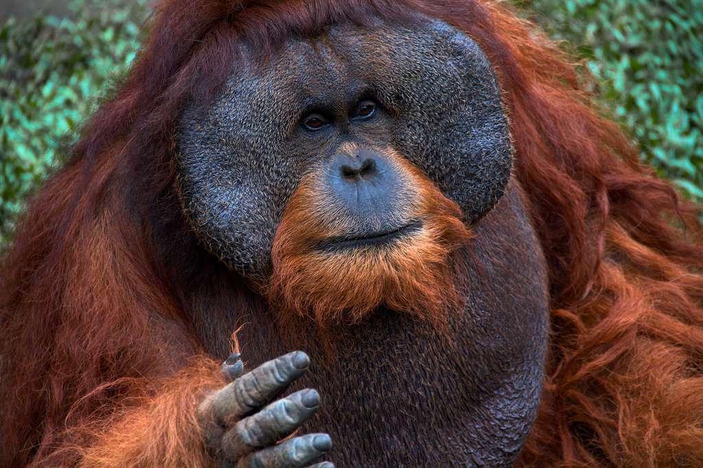 Les orangs-outans mâles se distinguent des femelles par leur corpulence plus imposante, mais aussi par des bajoues impressionnantes et, sous le menton, une poche appelée sac laryngé, grâce auquel ils font puissamment résonner leurs cris. Par cette manifestation sonore, un mâle annonce la direction qu'il prendra le lendemain afin que ses femelles le suivent. © Mikaku, Flickr, cc by nc nd 2.0