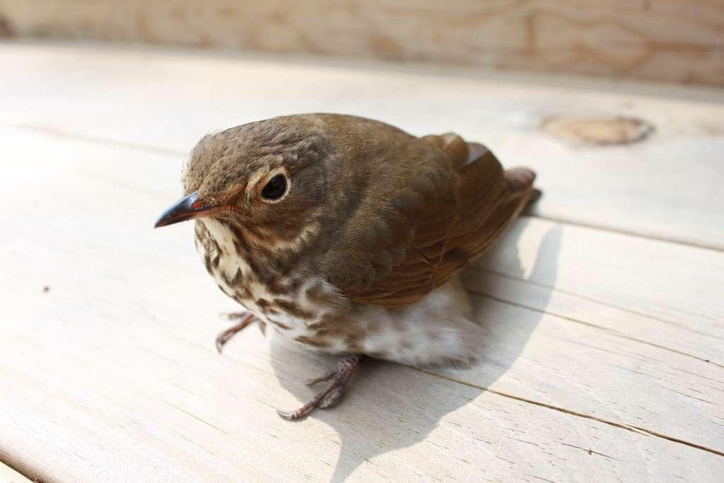 Comptant près de 10.000 espèces, les oiseaux modernes appartiennent au taxon des Neornithes. Ils correspondent aux derniers représentants vivants du groupe des avialiens. © MartinDube, Flickr, cc by sa 2.0