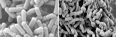 Lactobacillus rhamnosus (à gauche) et L. paracasei (à droite) sont deux bactéries répandues dans les produits lactés. Elles peuvent entrer dans la composition de probiotiques. © Nestlé