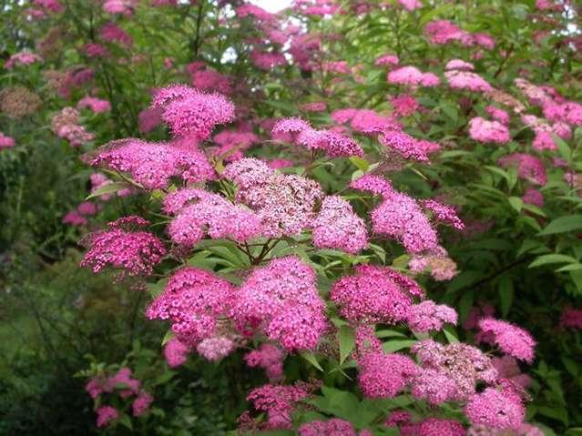 Un arbuste très florifère, la spirée - Copyright photos Pépinières Brochet-Lanvin
