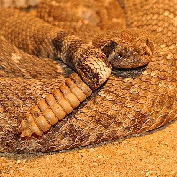 Crotalus est un genre de serpents désignés comme les serpents à sonnettele. On les appelle ainsi en raison du bruit qu'ils font en agitant leur queue, constituée d'écailles mal agencées. Grâce à ce subterfuge, ils peuvent effrayer ses proies. Crotalus est un serpent extrêmement venimeux. © Patrick Jean, muséum d'histoire naturelle de Nantes