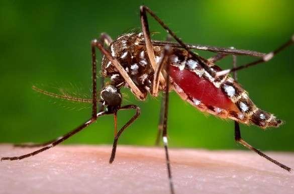 Aedes albopictus et ses rayures noires et blanches est un des deux vecteurs (avec Aedes aegypti) du virus du Chikungunya. © CDC