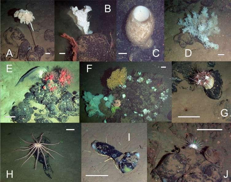 Un échantillon de la mégafaune vivant sur des mottes d'hydrocarbure (échelle blanche : 10 cm) : (A) Saccocalyx pedunculata, (B) une possible éponge Hexactinella sp., (C) une éponge rossellidée, (D) Farrea sp., (E) Anthomastus sp. et Psychrolutes macrocephalus, (F) une éponge jaune Paramuricea sp., (G) Actinernus michaelsarsi, (H) et (K) des brisingidées, (I) une ophiure sous l'asphalte, (J) un individu échinoïde. © Jones et al., Deep Sea Research Part I: Oceanographic Research Papers