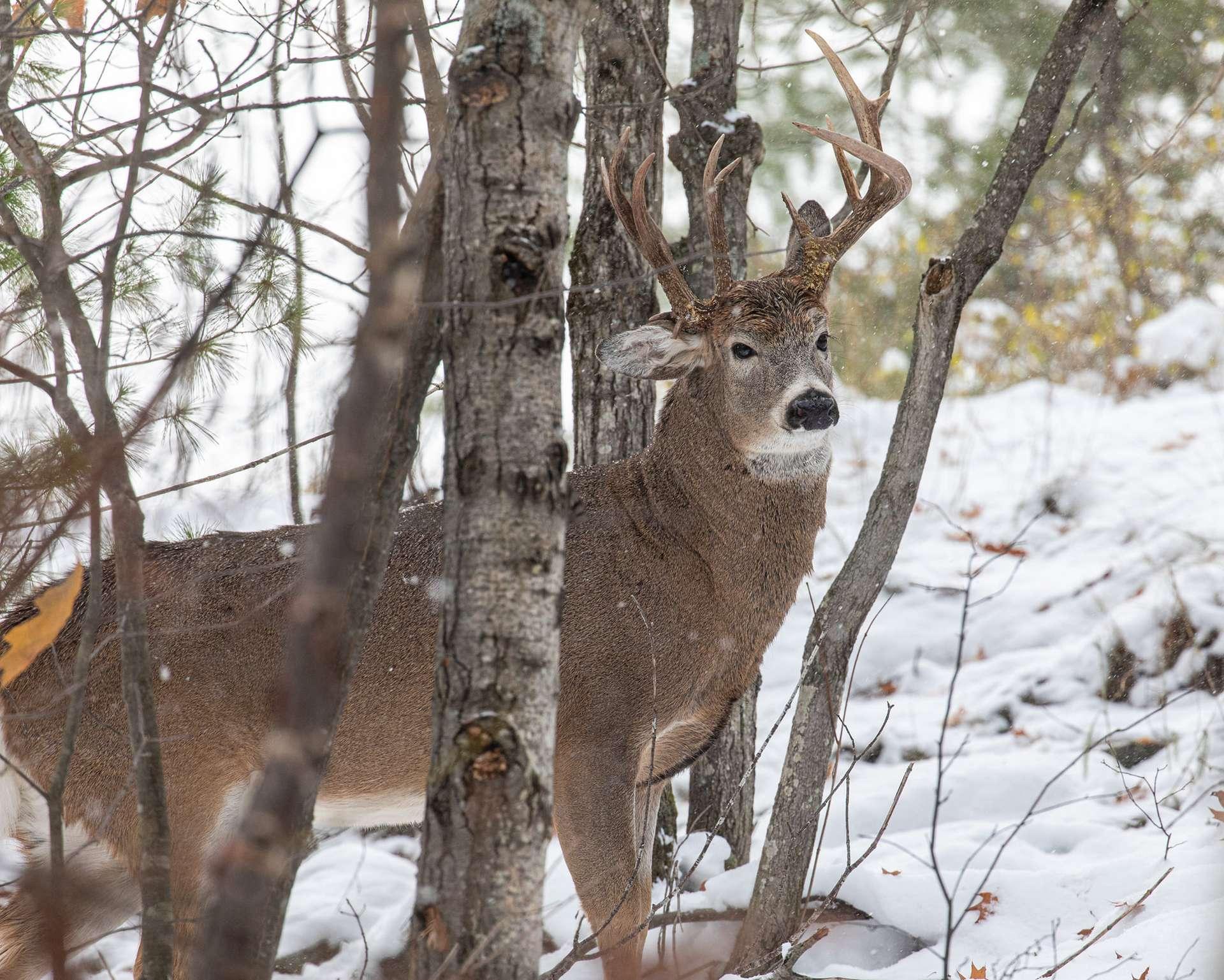 Steven Lindberg, un photographe amateur habitant dans le Michigan, a réalisé le cliché de ce très rare cas de cerf à trois bois. © Steven Lindberg, Facebook