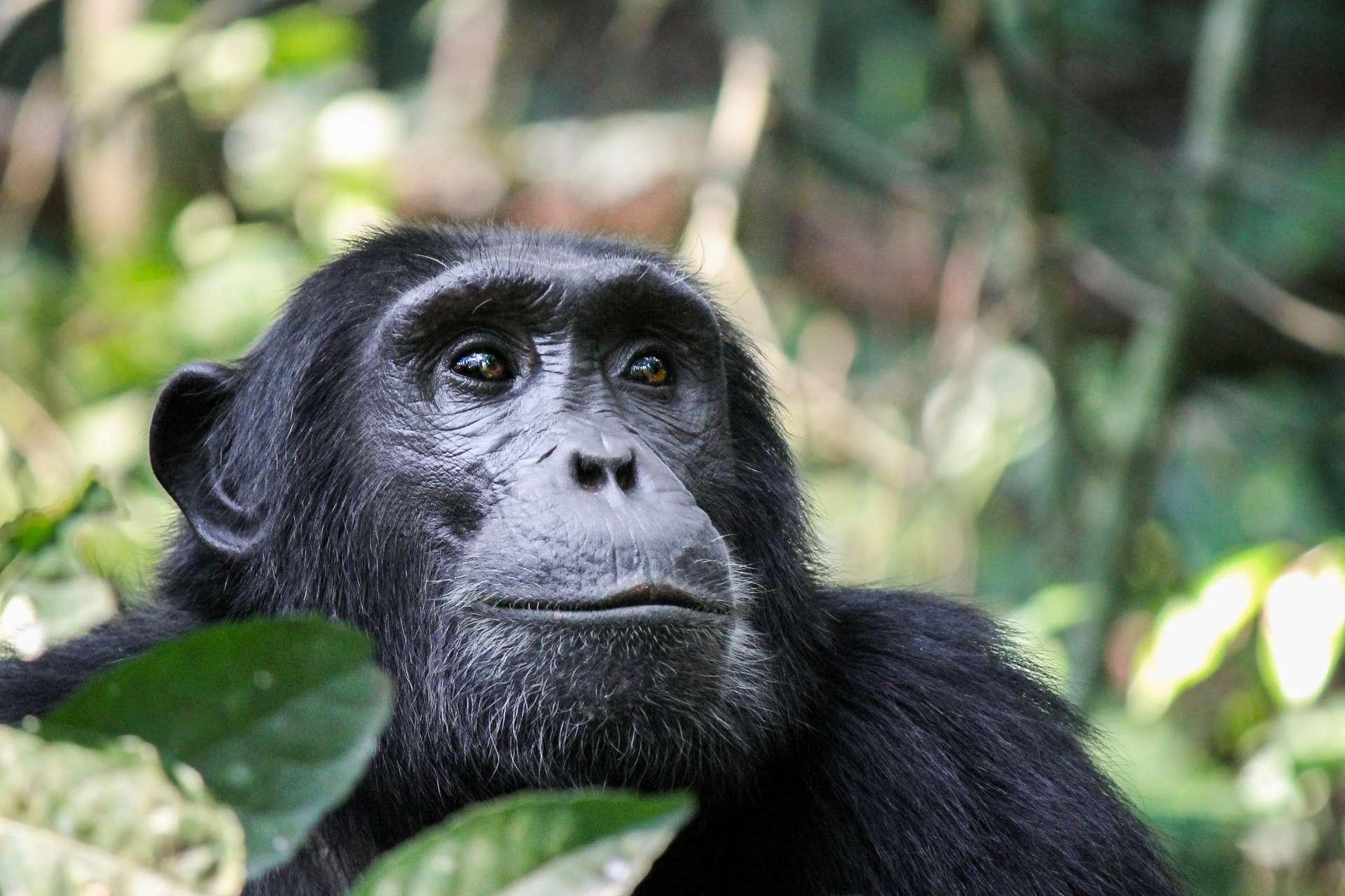 Il existe deux espèces de chimpanzés : le chimpanzé commun (Pan troglodytes), et le chimpanzé nain autrement appelé bonobo (Pan paniscus). © Nieuwenkampr, Adobe Stock