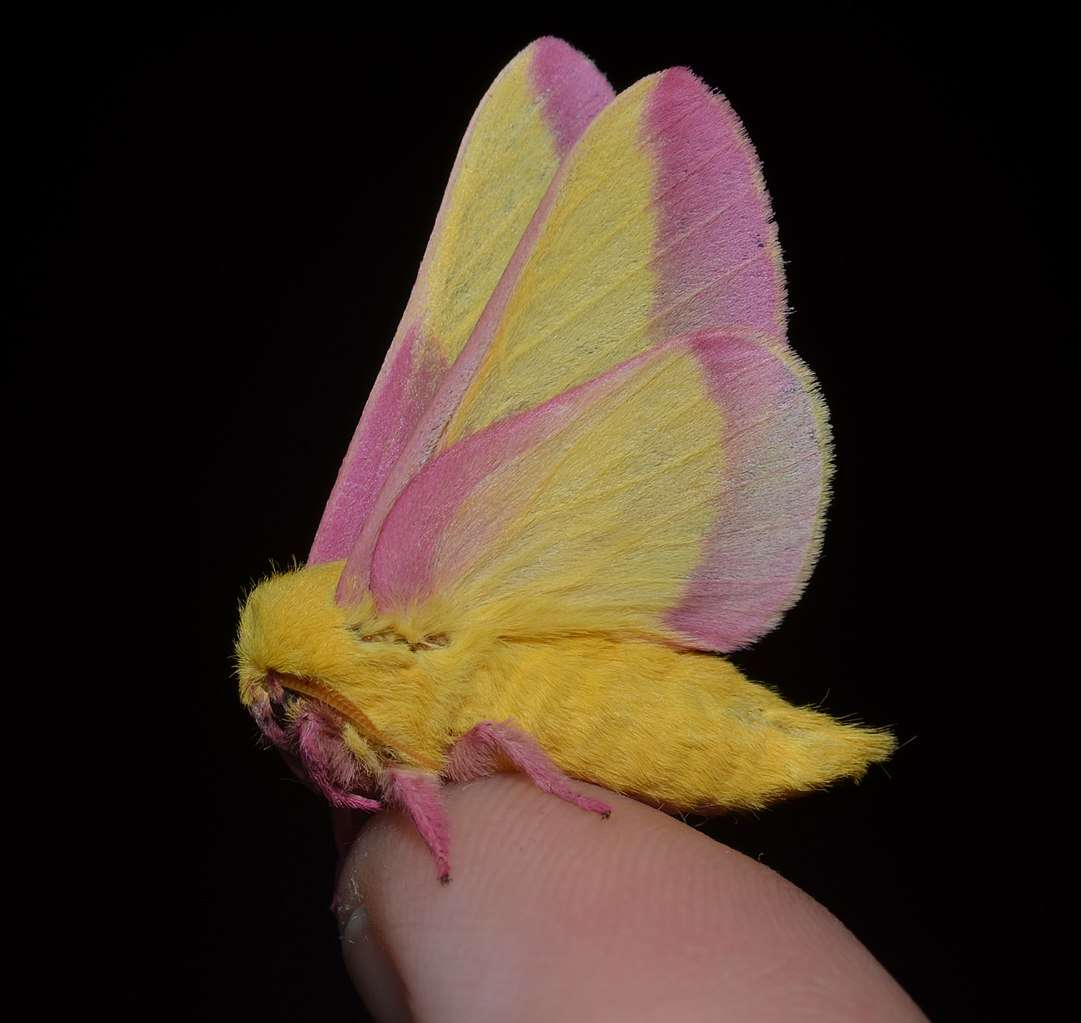 Les couleurs rose et jaune des ailes de Dryocampa rubicunda rappellent une glace vanille-fraise. © Andy Reago & Chrissy McClarren, CC by-sa 2.0