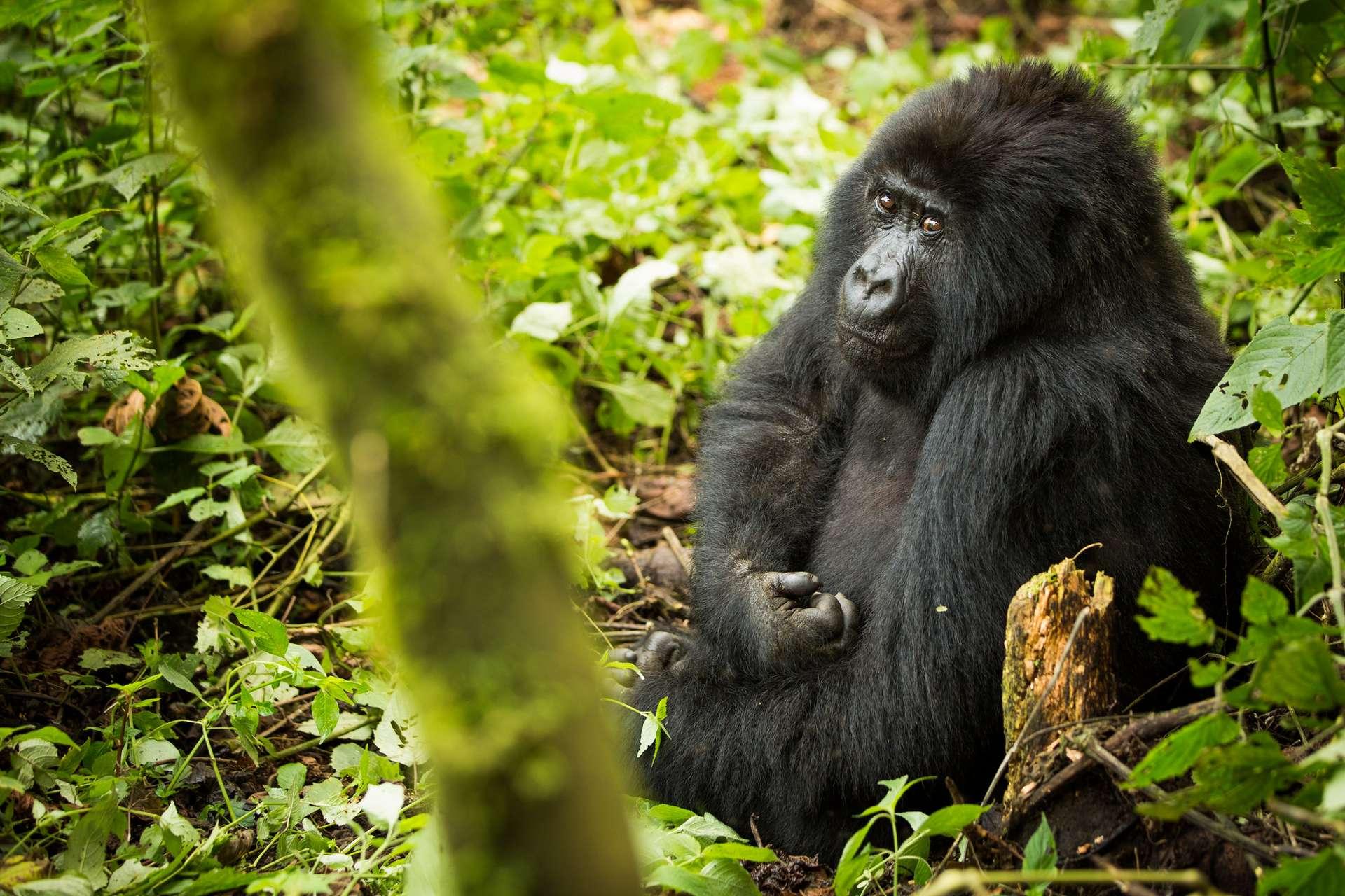 Quatre gorilles des montagnes ont été foudroyés dans le parc national de Mgahinga en Ouganda. © Joseph King, Flickr