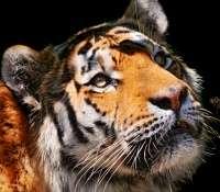 Voici Coto, un tigre de Sibérie, photographié au zoo de Zurich. © Tambako the Jaguar, Flickr, cc by nd 2.0