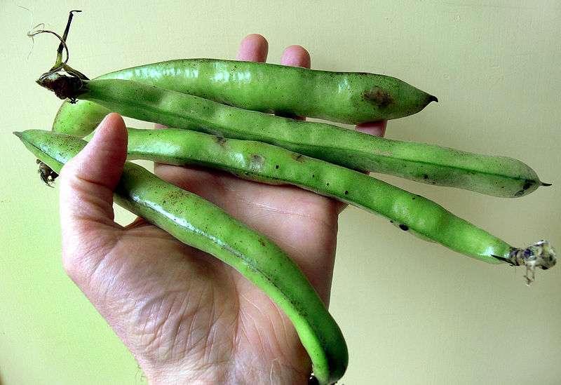 Les graines de fèves sont enfermées dans des gousses. © Lamiot/Licence Creative Commons