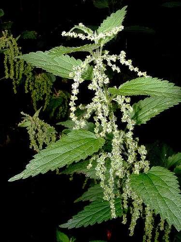 L'ortie (Urtica sp) est une plante eutrophe. Plus précisément, elle est nitrophile, c'est-à-dire qu'elle se développe dans les zones riches en nitrates. © OliBac CC by