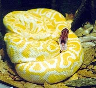 http://awesomeanimals.tripod.com/reptiles.htmUn magnifique python molure albinos... en appétit !