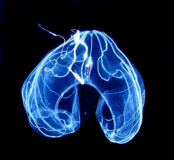 Les profondeurs des océans accueillent des créatures étranges et typiques, comme ce cténophore bioluminescent, très courant dans les abysses de l'Atlantique. © Marsh Youngbluth, NOAA, Wikipédia, DP