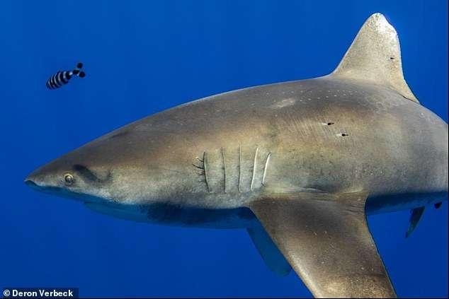 Les cicatrices rondes sont visibles sur la peau de ce requin longimane, près de son aileron dorsal. © Deron Verbeck