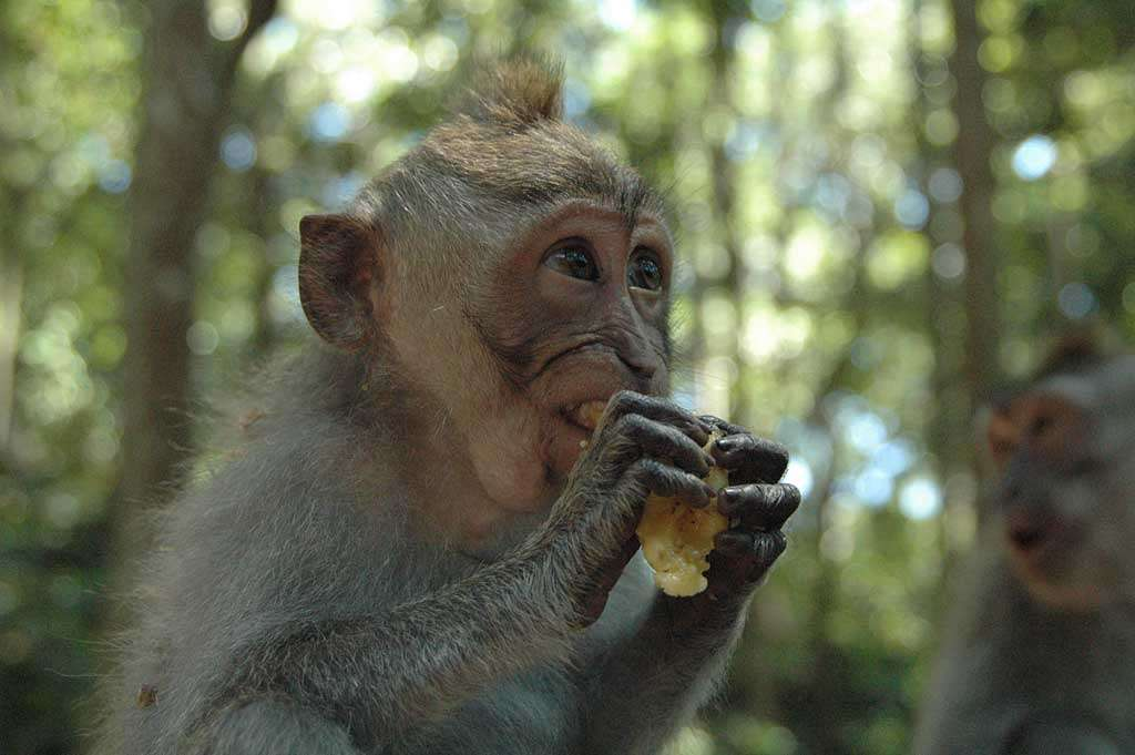 Macaca fascicularis. Photo Shawn Allen (Commons)