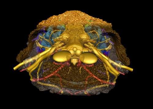 D'après les restes récupérés du Romundina, les chercheurs ont pu créer une reconstitution de ce poisson, portant le signe des vertébrés primitifs sans mâchoires en même temps que certains retrouvés uniquement chez tous les autres vertébrés. © Vincent Dupret, université d'Uppsala
