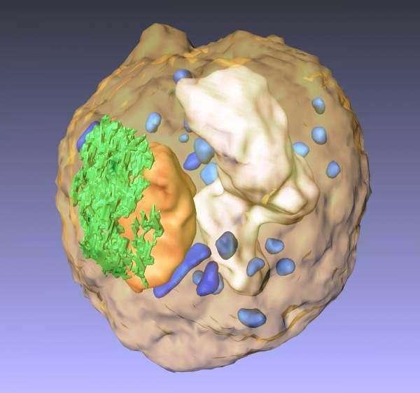 Un volume de rendu 3D d'une spore de levure reconstruite à partir d'un ensemble d'images 2D obtenues par une méthode tomographique montrant le noyau (orange), le réticulum endoplasmique (en vert), la vacuole (blanc), les mitochondries (bleu) et des granules (bleu clair). Crédit : UCLA/California NanoSystems Institute