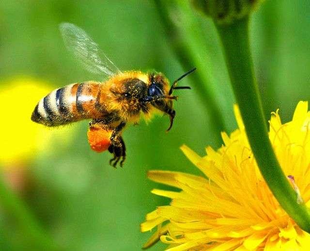 La pollinisation est un élément clé de la reproduction sexuée des végétaux supérieurs. Elle est le mode de fécondation privilégié utilisé par les plantes angiospermes (plantes à fleurs produisant des fruits), et gymnospermes (plantes à graines). L'intensification des techniques agricoles impacte ce processus essentiel. © Autan, Flickr, cc by nc nd 2.0