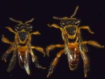 Les abeilles soldats (de l'espèce Tetragonisca angustula) représentent en quelque sorte une arme de défense pour la colonie. Bien que plus petites que leur ennemis, elles n'hésitent pas à aller au combat et à mourir pour protéger le nid. © Université de Sussex