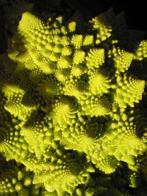 Qui aurait cru que les courbes généreuses du choux romanesco sont en fait des fractales ? Crédits : Bouba licence CC
