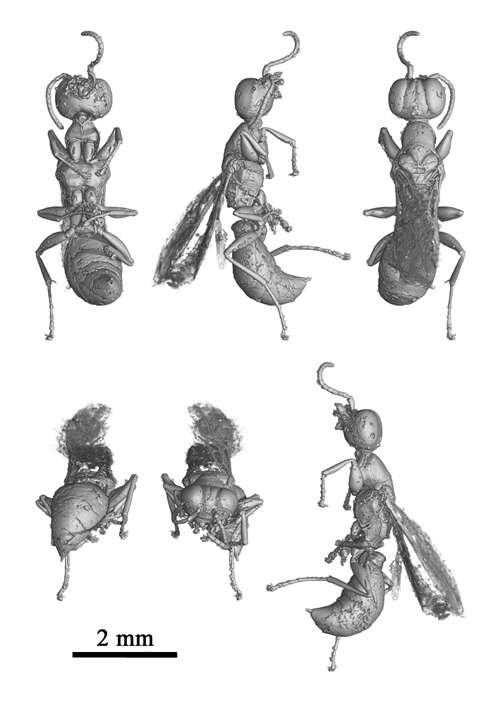 Cette guêpe a volé il y a cent millions d'années. © M. Lak, P. Tafforeau, D. Néraudeau (ESRF Grenoble et UMR CNRS 6118 Rennes)
