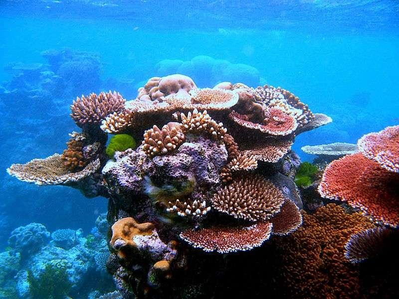 Une start-up se lance dans l'élevage de coraux, de crustacés et de mollusques recherchés par les aquariophiles pour financer des recherches de molécules d'intérêt pharmaceutique. Une opération qui pourrait permettre de sensibiliser le grand public à la préservation des coraux, comme ceux photographiés ici dans la Grande barrière de corail. © Toby Hudson, Wikimedia Commons, CC by-sa 3.0