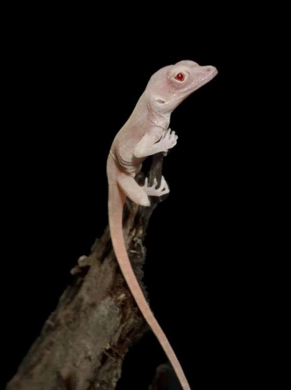 Un lézard albinos dont le génome a été modifié par les ciseaux génétiques CRISPR. © Doug Menke - The University of Georgia/AFP
