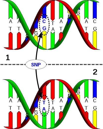 Les SNP sont des variabilités ponctuelles de la séquence d'ADN. © David Hall / Licence Creative Commons