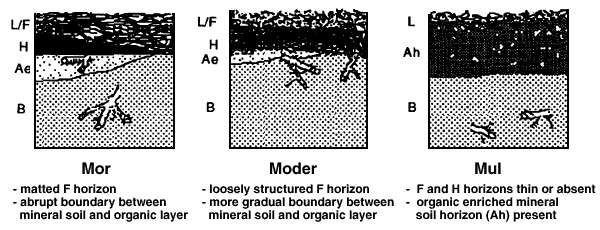 Dans un sol de type mor, les horizons organiques et minéraux sont séparés par une frontière nette. Les sols de type moder et mull ont des transitions moins marquées. © d'après Lavender et al. 1990