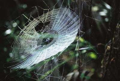 Une substance collante sur les toiles d'araignées pourrait mener au développement d'une nouvelle génération de colles basées sur des biomolécules susceptibles, un jour, de remplacer les produits à base de pétrole. © Randolph Femmer / National Biological Information Infrastructure