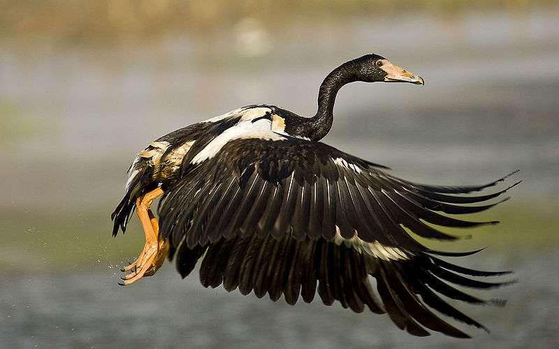Oie semi palmée en vol. On distingue nettement son bec crochu comme celui d'un vautour et ses pattes partiellement palmées. © Djambalawa, Wikipedia, GNU FDL 1.2