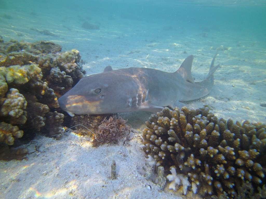 Le requin Chiloscyllium punctatum possède un corps blanc long de 12 cm et strié de bandes noires à l'éclosion. Il ressemble ainsi à un serpent venimeux, ce qui lui évite de nombreuses attaques de prédateurs durant ses premières semaines de vie. © JohnWTurnbull, Flickr, cc by nc sa 2.0
