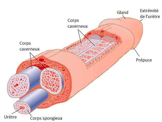 Le pénis forme, avec les testicules, le système reproducteur externe de l'homme. Crédits DR.
