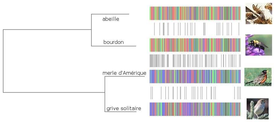 Le barcoding moléculaire permet de déterminer l'espèce d'un échantillon. © Herbet et al. 2004, Plos Biology