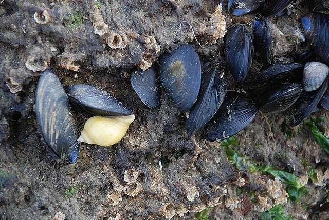 La coquille bivalve est une autapomorphie des Lamellibranches. © bpmm, Flickr, cc by nc nd 2.0