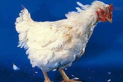 Grippe aviaire : l'Afrique également menacée