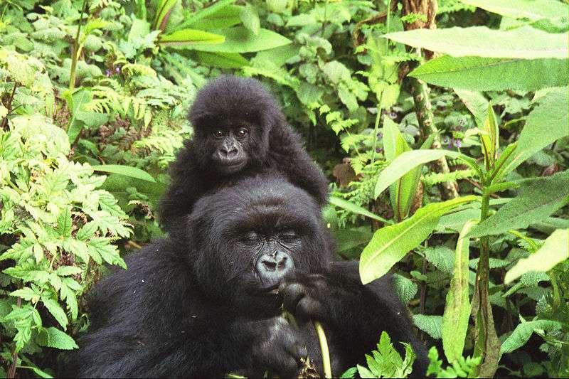 Les gorilles des montagnes sont sensibles aux infections. © Sarel Kromer, Wikimedia, CC by-sa 2.0