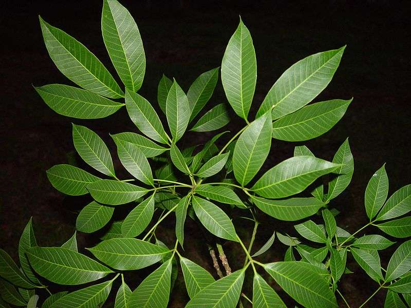 Feuilles d'hévéa, l'arbre duquel on extrait le latex. © AxelBoldt, Wikipédia DP