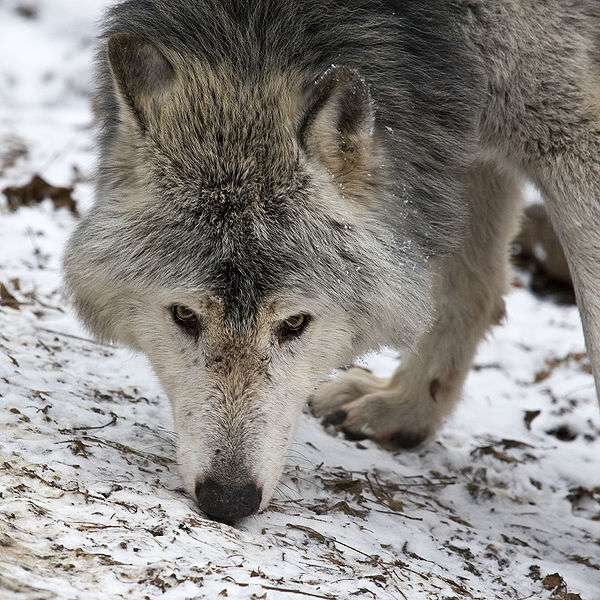 Photo d'un loup de l'Est © Christian Mehlführer - CCA 2.5 Generic License