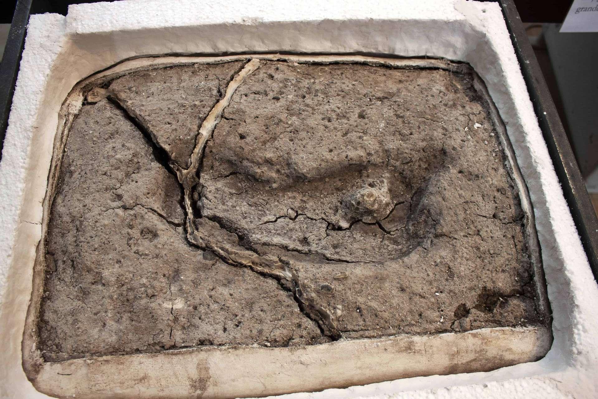Il y a 15.600 ans, un individu adulte de l'espèce humaine Hominipes modernus a foulé de ses pieds nus la terre de Pilauco, au Chili, y laissant l'empreinte de son pied droit. Cette trace de pas est la plus ancienne des Amériques. © Universidad Austral de Chile (UACh)