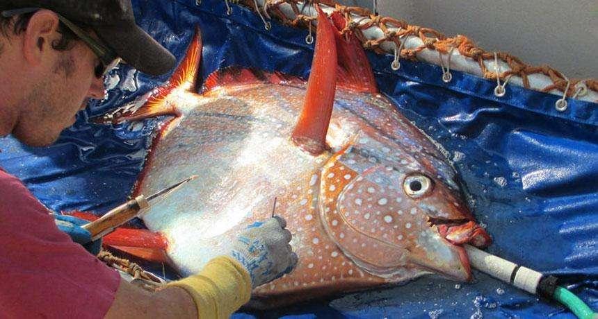 Ce lampris a été équipé d'un capteur de température. Les scientifiques ont ainsi pu observer un échange de chaleur dans ses branchies. © NOAA Fisheries West Coast