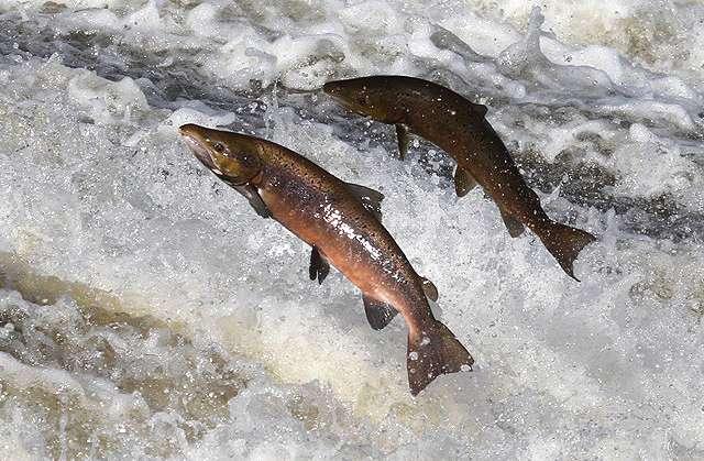 Les chasseurs-cueilleurs européens préféraient manger des poissons, tandis que les agriculteurs consommaient surtout des animaux d'élevage. © Walter Baxter, geograph.org, cc by sa 2.0