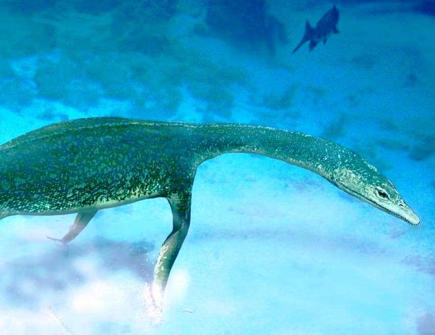 Le Nothosaurus, signifiant lézard mixte, a donné son nom à la famille des Nothosauridés qui regroupe des espèces semi-aquatiques ayant vécu pendant le Trias, de -250 à -210 millions d'années environ. Ils pouvaient atteindre trois mètres de longueur, avec un long cou, une longue queue aplatie, de courtes pattes palmées et une douzaine de dents pointues qui s'imbriquaient les unes dans les autres. On voit ici une représentation d'artiste d'un de ces Nothosauridés, un Lariosaurus. © Adrian Choo