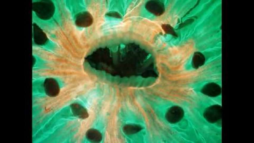 Les grimaces d'un Fungia, un corail solitaire
